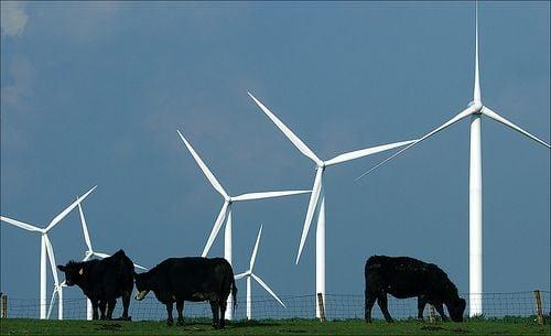 krowa i wiatrak