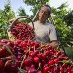 Niemcom brakuje Polaków … przy zbiorach owoców i warzyw.