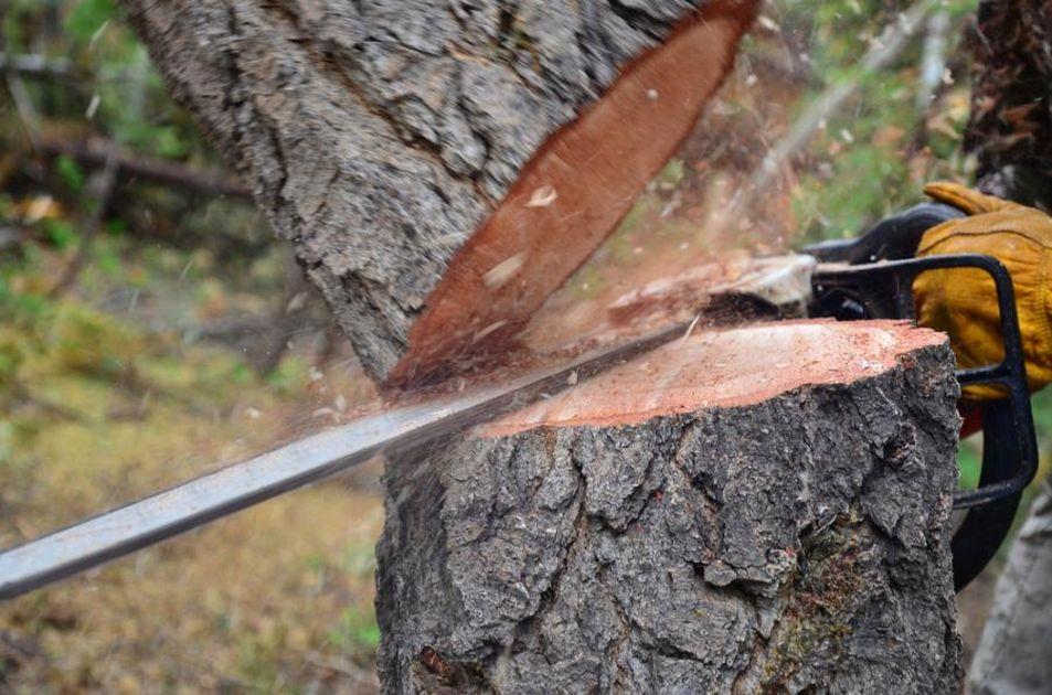 Radny PO wyciął drzewa później sadził w proteście nowe