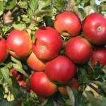 PRL to jabłoń, a RP to jabłko – niedaleko od jabłoni jabłko spadło!!!
