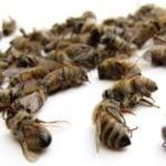 Masowa zagłada pszczół w pasiekach pod Chojną
